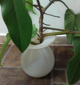 Филодендрон краснеющий, комнатные растения