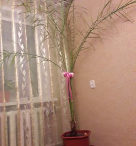 Пальма с кашпо