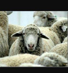 Продаются Овцы и козы. возможен бартер на машину