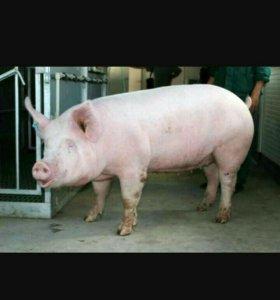 Мясо. Свинина