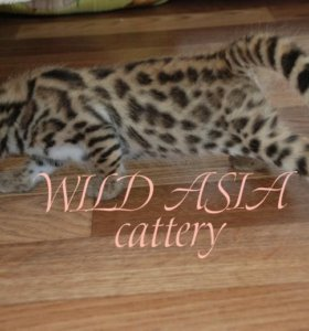 Котята F1 от азиатского леопарда