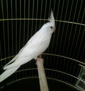 Безщёкая белая корелла