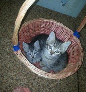Котята мальчики(2 месяца)