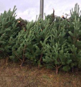 Новогодняя елка(сосна)