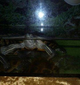 Черепахи с черепашатником