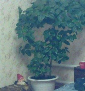 Гибискус красный / китайская роза