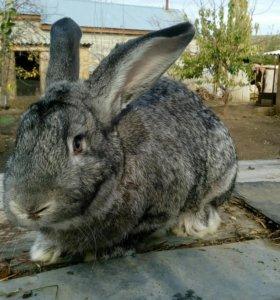 """Кролики порода """"Великан"""""""