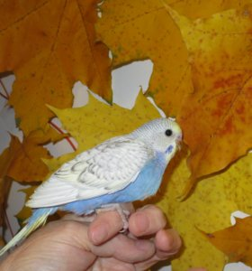 Самцы и самочки ярких волнистых попугаев