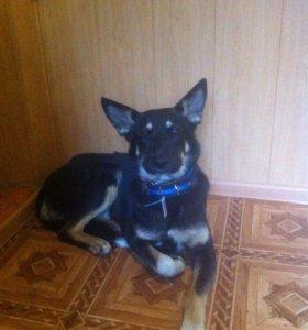 Молодая стерилизованная собака