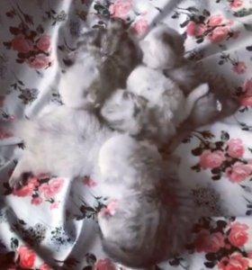 Кошки персидской шиншиллы