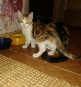 Вислоухие коты для вязки воронеж
