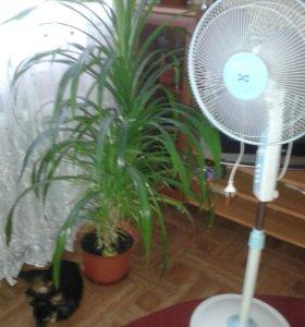 Панданус-комнатная пальма