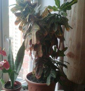 Комнотные растения кротон