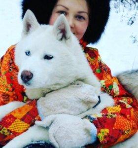 Сибирской Хаски Готов к вязке