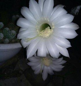 Кактус. Очень красивый, часто цветет.