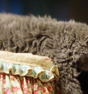 котик, 4,5  мес, длинношерстный, кудрявый