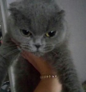 Кошечка шлтландка