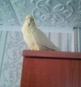 Сладкая парочка попугаев корелла