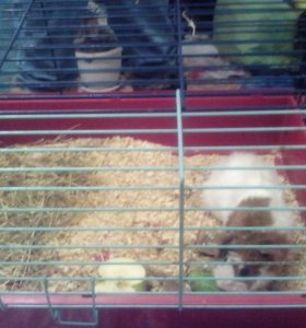 Свинка+ клетка