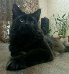 Кот Мейн-кун 1год