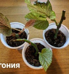 Укоренённые черенки комнатных растений
