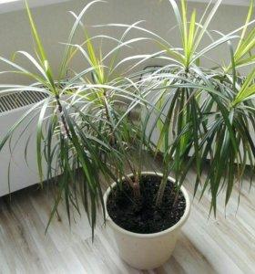 Драцена комнатное растение