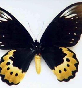 Тропические Живые Бабочки из Коста Рикки Игуазу