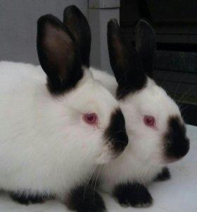 Кролы и крольчихи от 2 до 5 месяцев