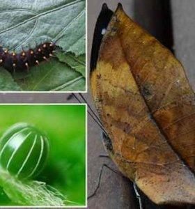 Экзотические Живые Бабочки из Филиппин Linnaeus