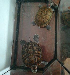 Красноухие водные черепахи.