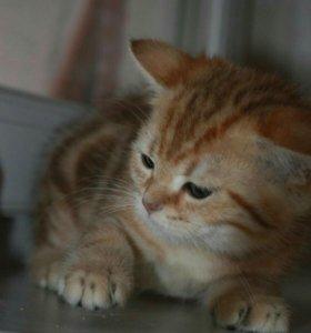 Мраморные золотые котята с изумрудными глазами