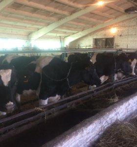 коровы и бычки голштинской породы