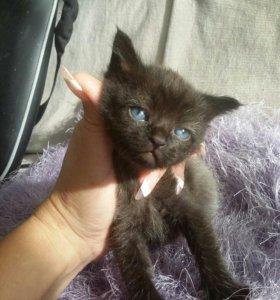 Отдам котёнка необычного окраса
