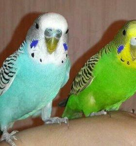 Попугай