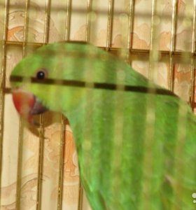 Попугай Жора