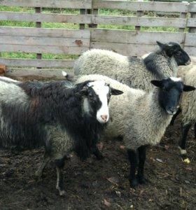 Овца и бараны