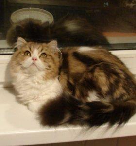 Кошечка хайленд страйт