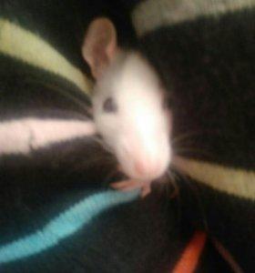 Бесплатно отдаю крысёнка бес клетки