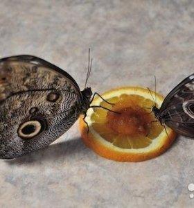 Яркие Живые Бабочки из Африки Рисовая Идэя