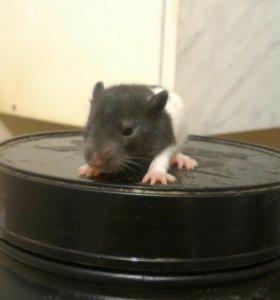 Крысы на корм