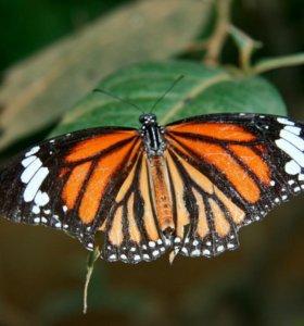 Яркие Живые Бабочки из ЮАР Елена