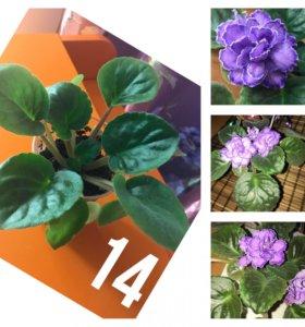 Фиалки «Пурпурный мираж» укоренённый листик