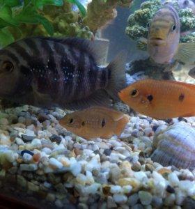 Рыбки цихлиды ( мальки)