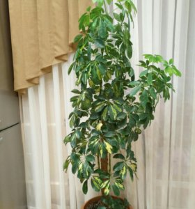 Шеффлера комнатное растение