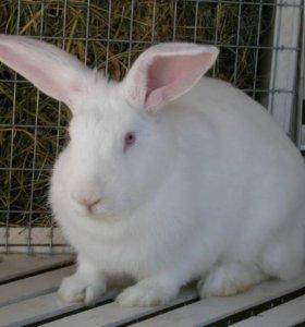 Продаю кроликов на мясо цена за тушку(2'5-3 кг)