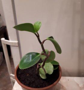 Пеперомия комнатное растение