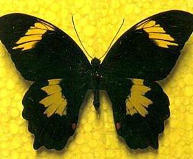 Экзотические Живые Бабочки из Африки Южная
