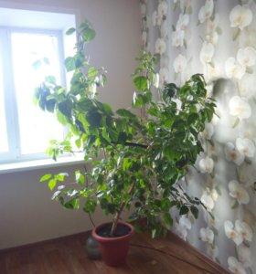 Цветок китайская роза