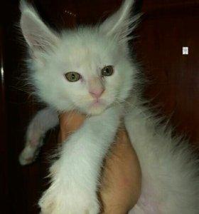 Белые котик Мейн Кун