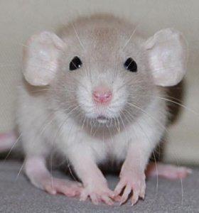 Крыски Дамбо продам